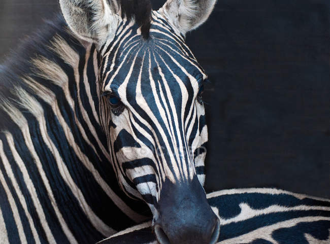Close-up portrait of Beautiful African Zebra looking at camera — Stock Photo