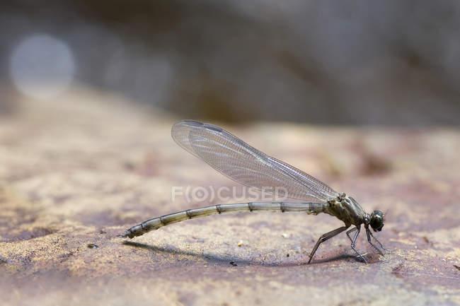 Primer plano de la libélula bebé sobre fondo borroso - foto de stock