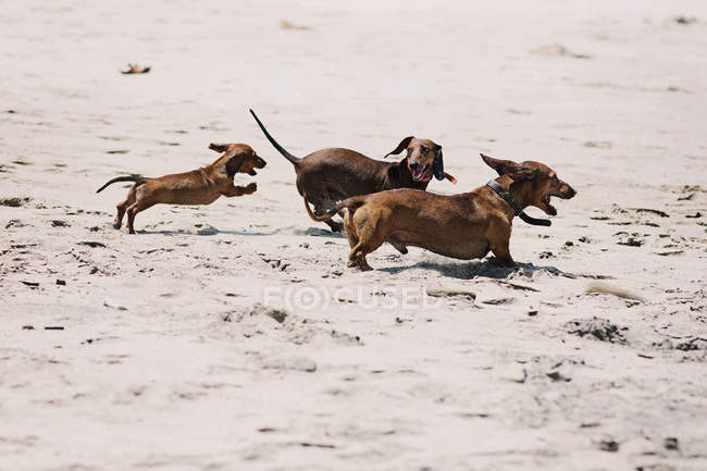 Три собаки таксы, играя на пляже смешные картинки концепция — стоковое фото