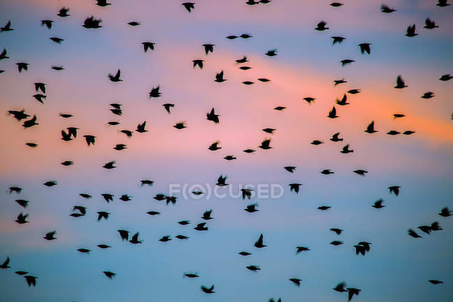 Flock of Grackles flying in pink sky at sunset — Stockfoto