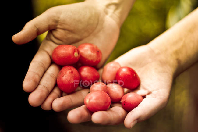 Cropped image of female hands holding plums — Stock Photo