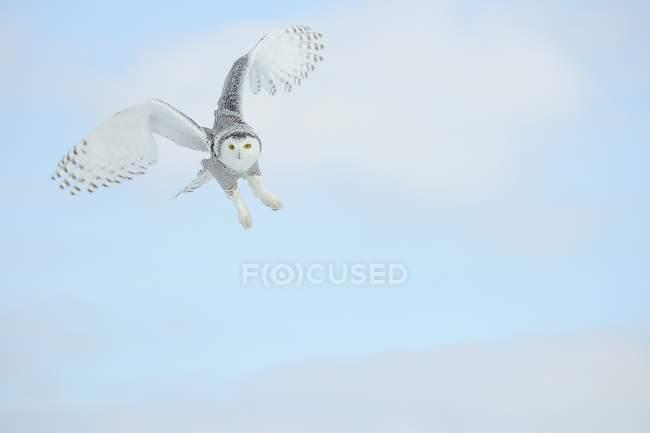 Дикі Сова політ в чисте синє небо — стокове фото