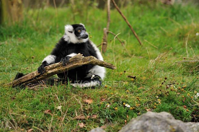 Schwarz und weiß Ruffed Lemur hält einen Stock — Stockfoto
