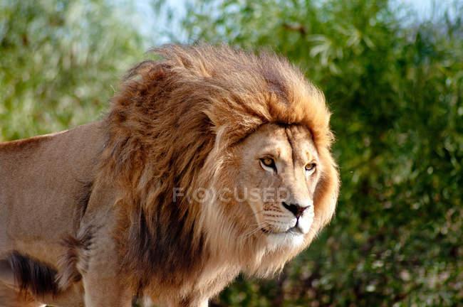 León con hermosa melena mirando hacia la naturaleza salvaje - foto de stock