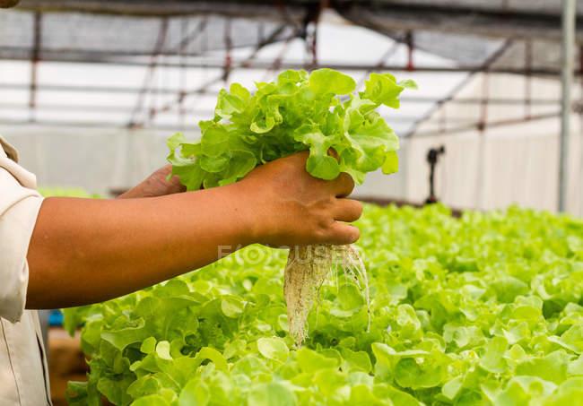 Mãos humanas segurando alfaces frescas colhidos na fazenda orgânica de vegetal hidropônica — Fotografia de Stock
