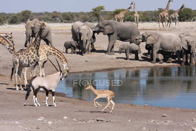 Elefanten mit Giraffen und Oryx trinken am Wasserloch, Namibia — Stockfoto