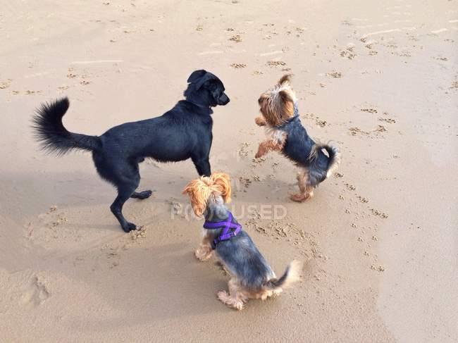 Tre cani svegli che giocano sulla spiaggia — Foto stock