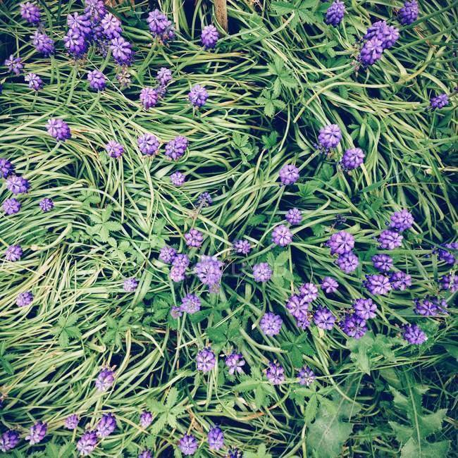 Фіолетові квіти ростуть в зеленому полі — стокове фото