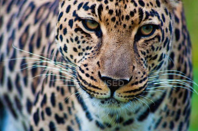 Крупным планом портрет красивой диких леопарда в Южной Африке, Мпумаланга — стоковое фото