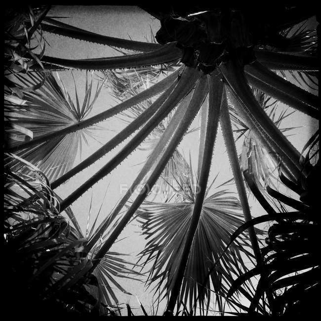 Vista de ângulo baixo de palmeiras em monocromático — Fotografia de Stock