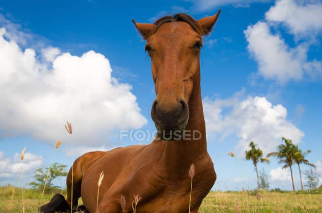 Cavallo che riposa sulla zona erbosa vicino alla spiaggia di Gros Islet, Santa Lucia — Foto stock