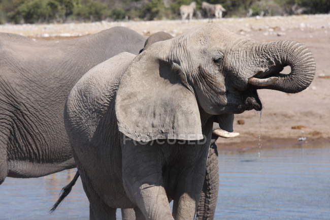 Portrait of an Elephant drinking at watering hole, Namibia — Stock Photo