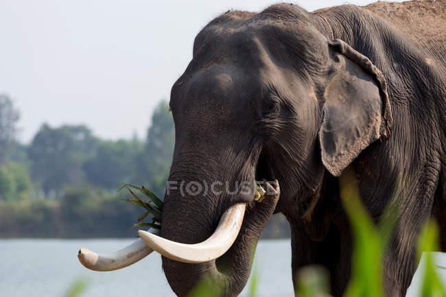 Закри Азіатський слон їдять рослин — стокове фото