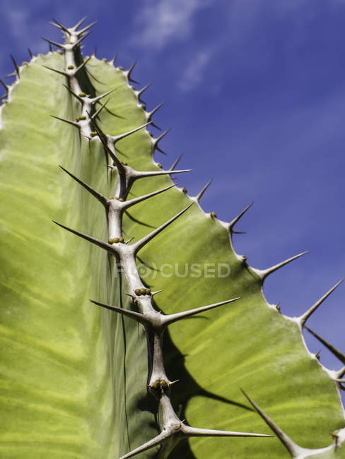 Thorny green succulent plant closeup — Stock Photo