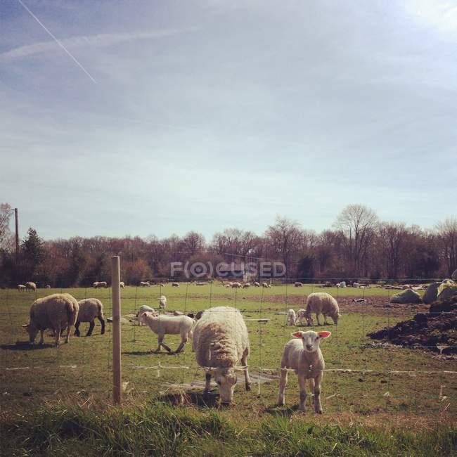 Francia, Rouen, Calvados, Lisieux, Courtonne-la-Meurdrac, agnelli al pascolo in azienda — Foto stock