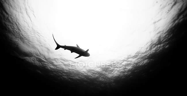 Монохромное изображение плавающих под водой рифовых акул — стоковое фото