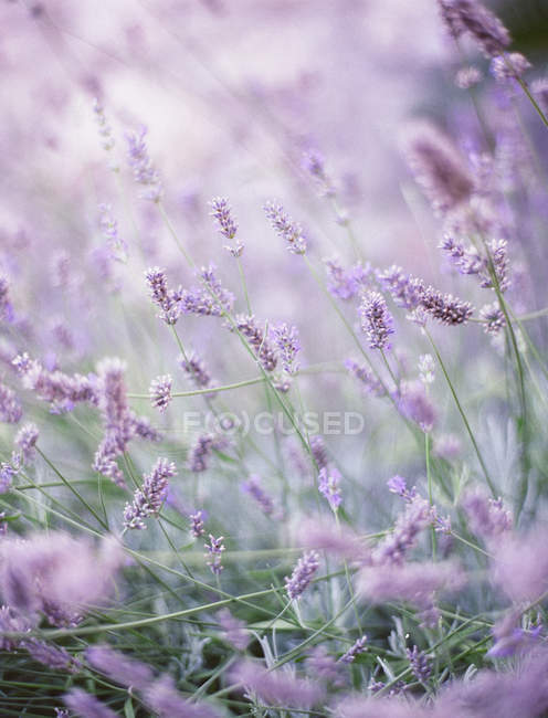 Close-up de frança lavanda em provence, fundo borrado — Fotografia de Stock
