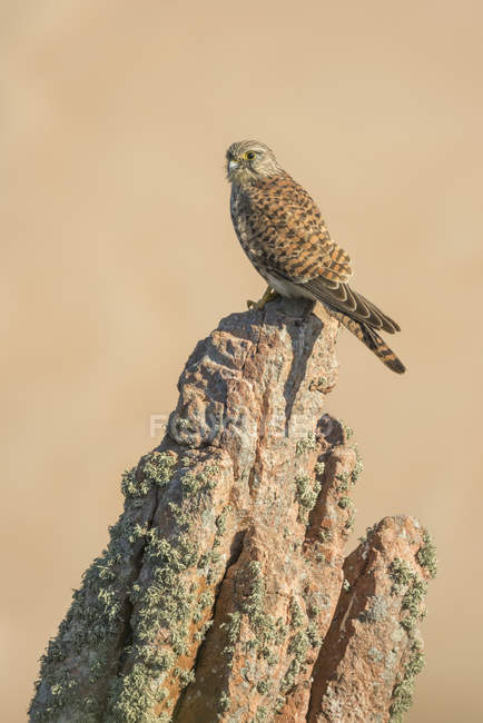 Close-up of Kestrel perched on a granite rock — Stock Photo