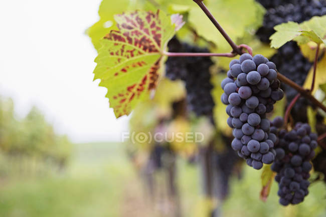 Close-up view of grapes in a vineyard, blurred background — Stock Photo