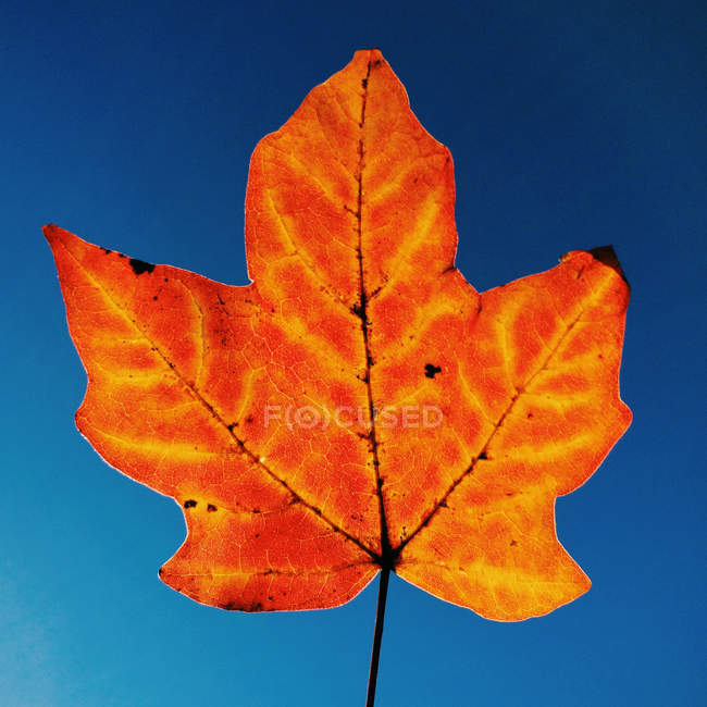 Close-up of autumn leaf against blue sky — Stockfoto