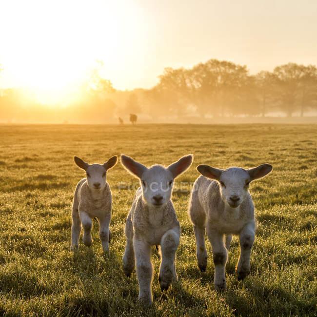 Three cute lambs on meadow at morning sunshine — Stock Photo