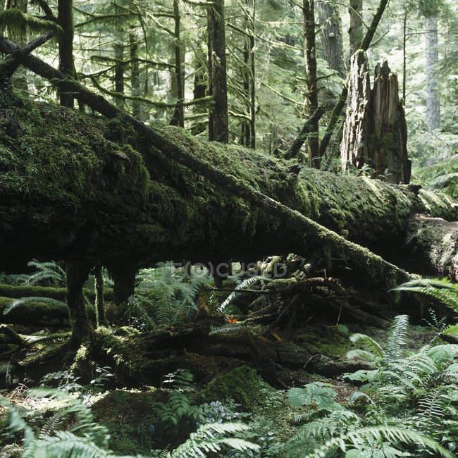 Vista panoramica di vecchia crescita cedro che si trova nella foresta — Foto stock