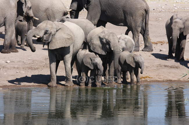 Herd of Elephants drinking water near watering hole in Namibia — Stock Photo