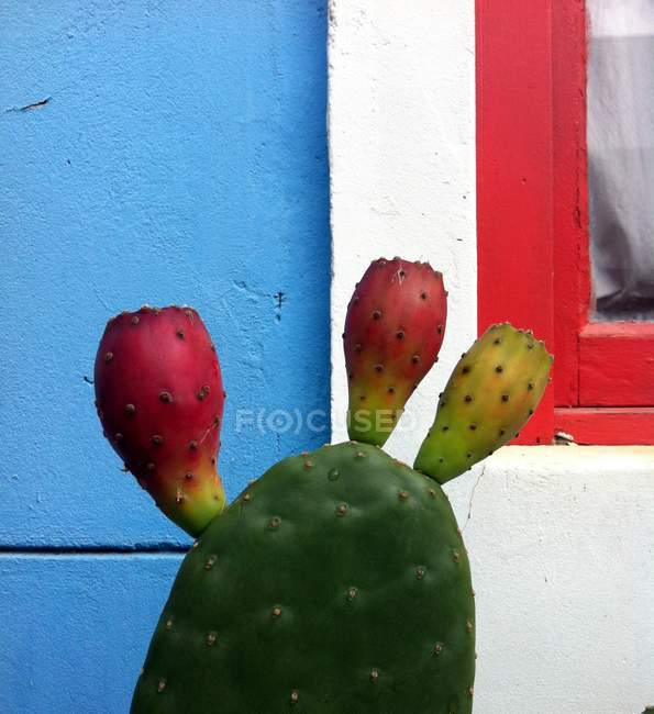 Prickly Pear Cactus gegen bunte Wand — Stockfoto