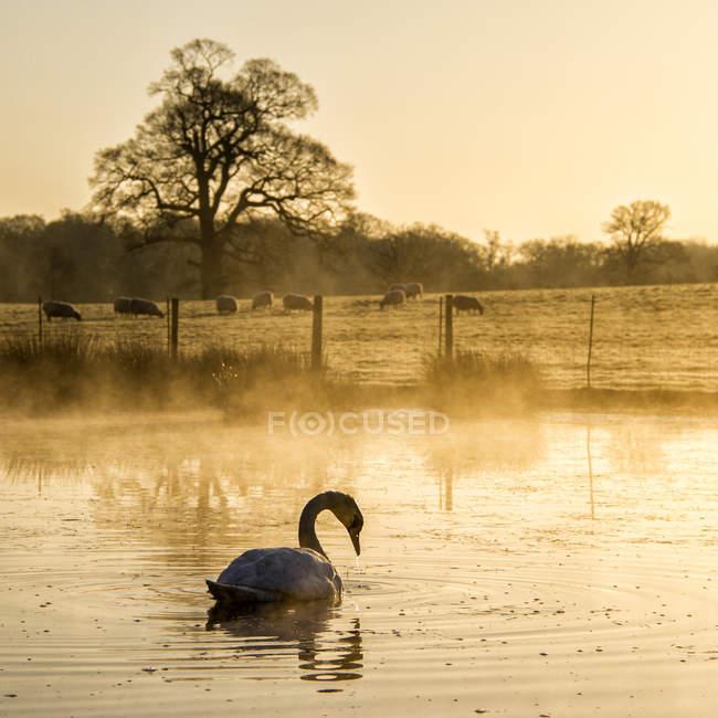 Lago e bella piscina cigno in primo piano e pecore sul prato in background — Foto stock