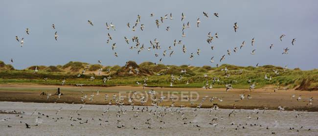 Scenic view of flock of birds in flight, Aberdeen, Scotland, UK — Stockfoto