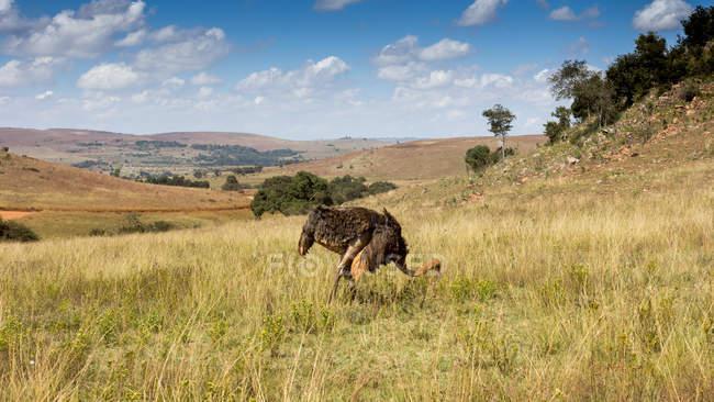 Живописный вид страуса выпаса, Стеркфонтейн Dma, Гаутенг, Южная Африка — стоковое фото