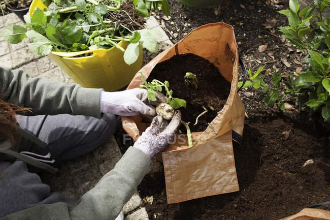 Overhead view of Female Gardner Picking Potatoes — Stock Photo