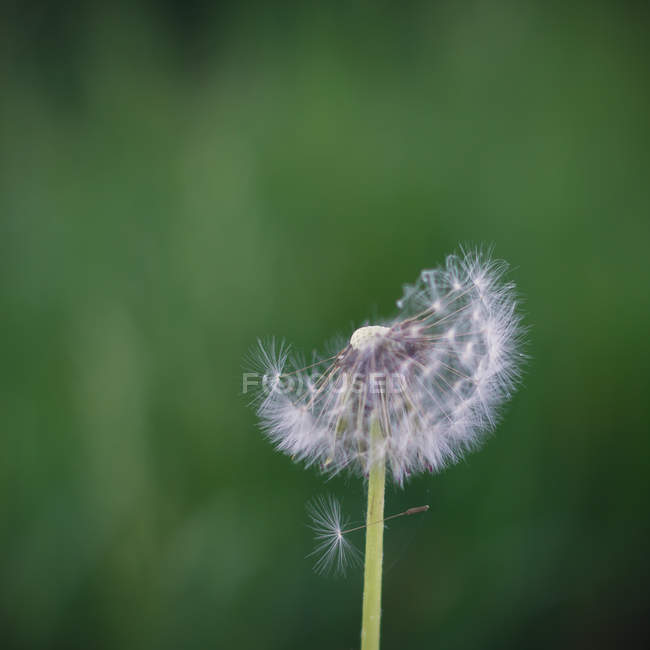 Closeup view of dandelion clock against blurred green background — Stockfoto
