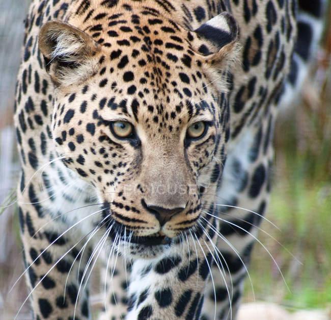 Крупным планом вид красивых диких леопарда, Национальный парк Крюгера, Мпумаланга, ЮАР — стоковое фото