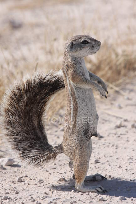 Close-up Portrait of a mongoose standing upright in desert, Namibia — Stock Photo