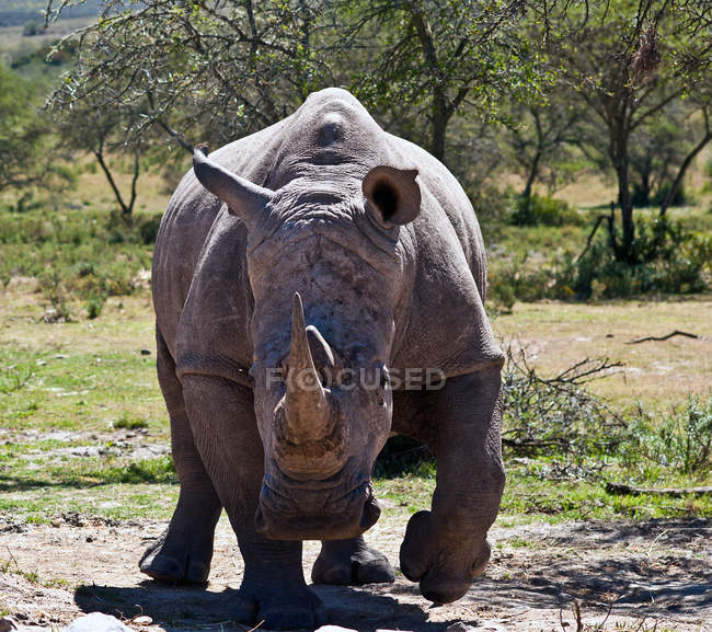 Portrait of big wild rhinoceros in wilderness — Stock Photo