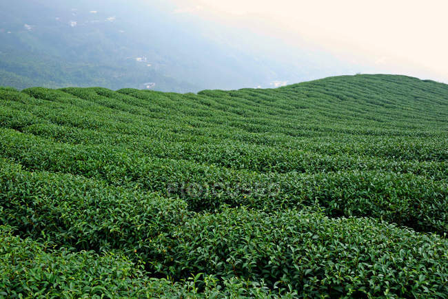 Scenic view of green tea plantation, China — Stock Photo