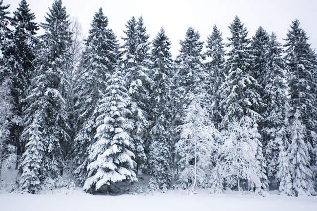 Живописный вид на заснеженные деревья — стоковое фото