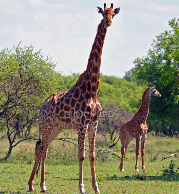 Giraffes standing on grass in wild nature — Stock Photo