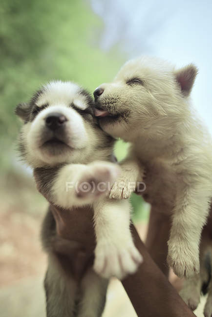Close-up of Two siberian husky puppies playing in human hands — Stock Photo