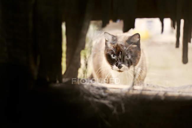 Chat siamois, regardant à travers le trou — Photo de stock