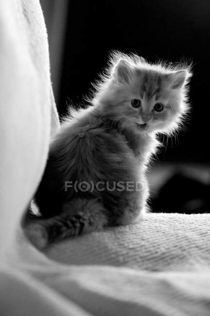 Cute fluffy little cat in monochrome — Stock Photo