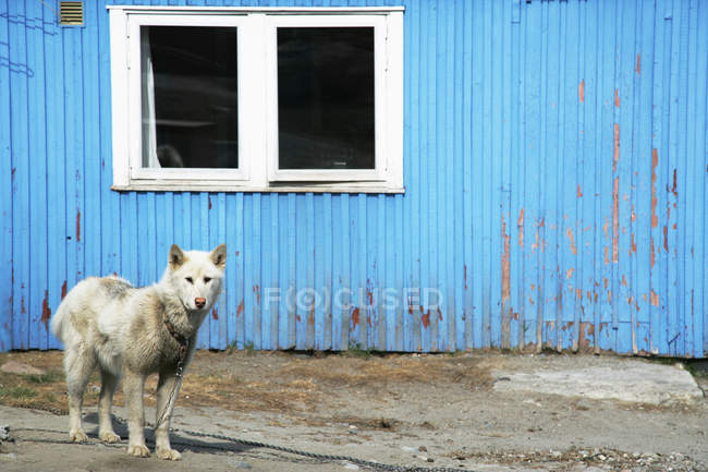 Husky dog standing outside building — Stock Photo