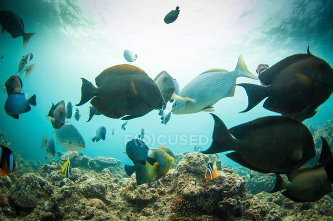 Peces nadando bajo el agua, Okinawa, Japón - foto de stock