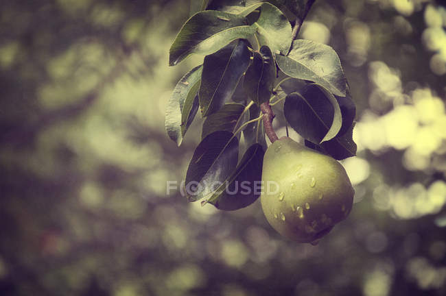 Close-up view of fresh pear on tree — Stockfoto