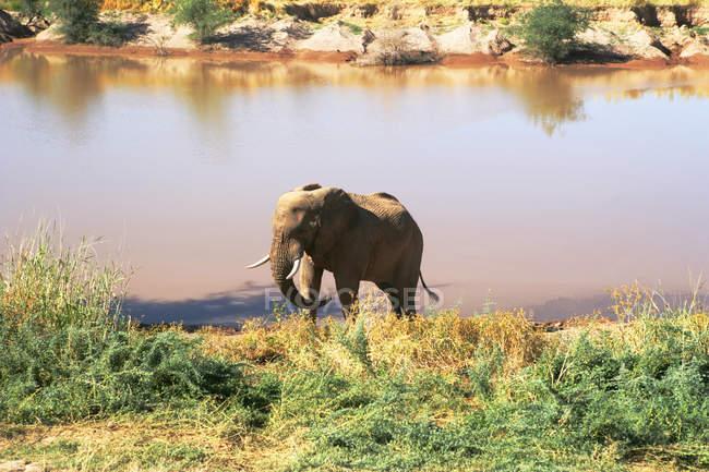 Lindo elefante na natureza selvagem, perto de rega-lugar — Fotografia de Stock
