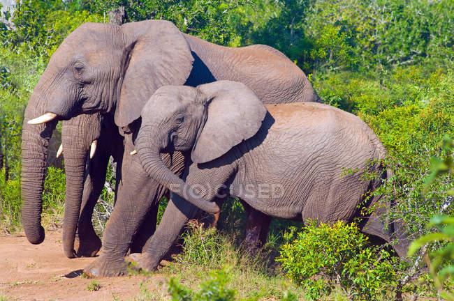 Schöne Elefantenfamilie in wilder Natur — Stockfoto