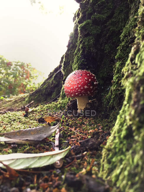 Closeup view of red mushroom in forest — Stock Photo