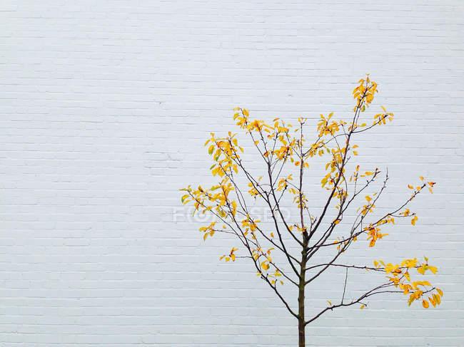 Árbol con hojas amarillas junto a la pared blanca - foto de stock