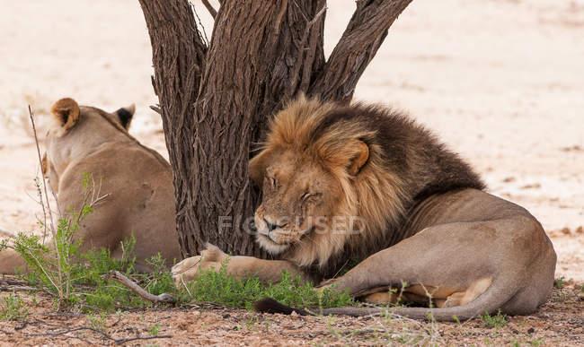 Милі, смішні і пухнасті левів, відпочиваючи дерево, Лев, обіймати стовбур — стокове фото